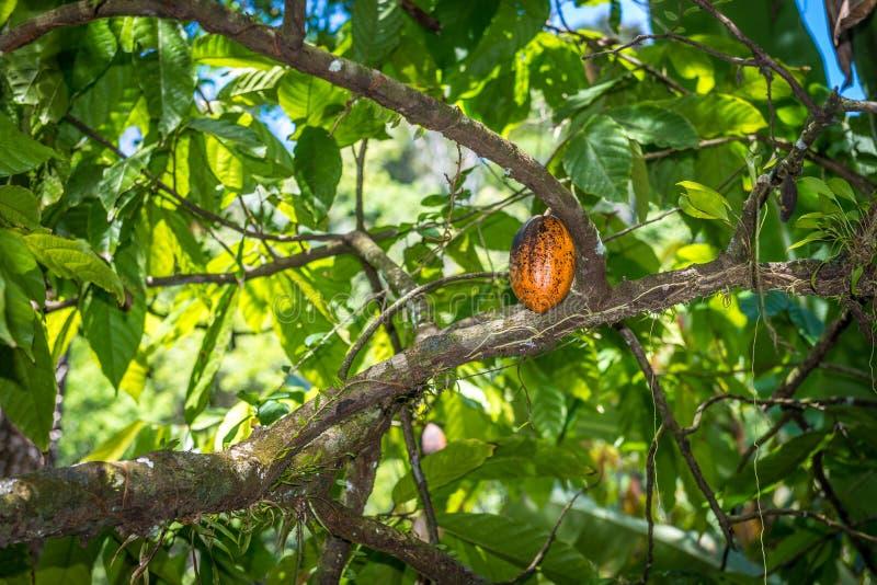 Organisk kakao för Theobroma för kakaofruktfröskidor i natur royaltyfria foton