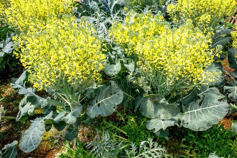 Organisk kinesisk grönkålgrönsak med den gula blomman i ett växthus, Collardsgrönsak arkivbild