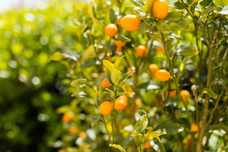 Organisk Kumquatfrukt på trädet på en suddig bakgrund - naturlig fruktbakgrund arkivfoto