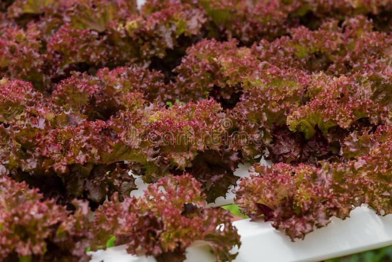 Organisk lantgård med den hydroponic åkerbruka grönsaken royaltyfria bilder