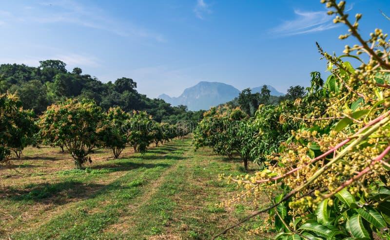 Organisk mangolantgård i bygd av Thailand royaltyfri bild