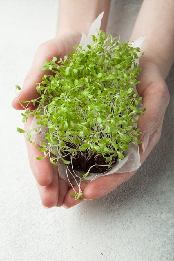 Organisk mikro-gräsplan sallad i händer, närbild Begreppet av ett sunt bantar av en ny trädgård växer organiskt som ett symbol av royaltyfri fotografi