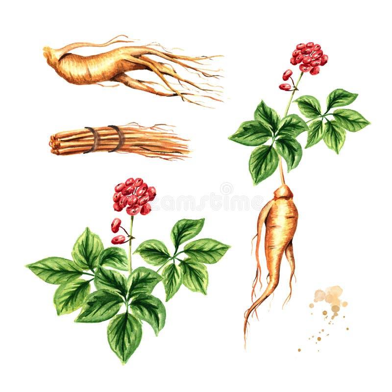 Organisk ny ginsenguppsättning Rota, sprick ut, blomma Dragen illustration för vattenfärg som hand isoleras på vit bakgrund royaltyfri illustrationer