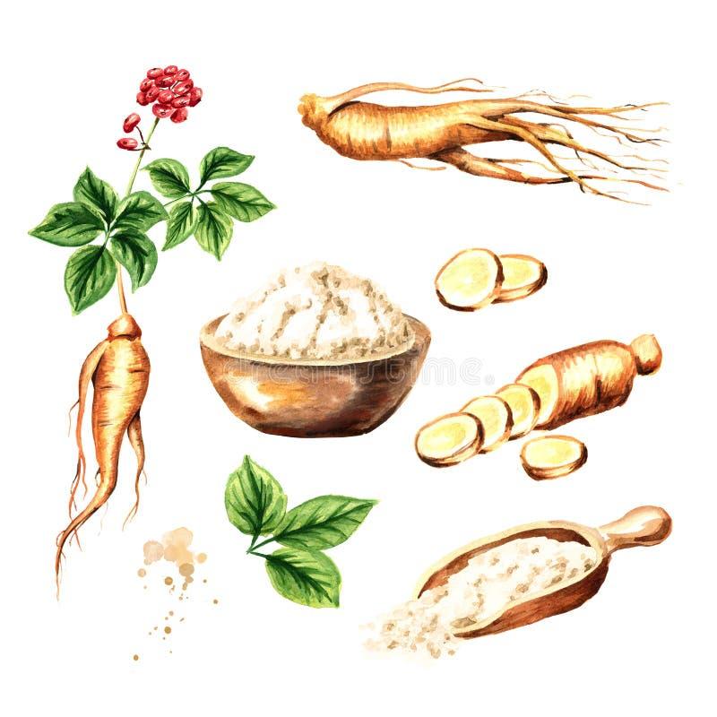 Organisk ny ginsenguppsättning Rota, sprick ut, blomma, pudra Dragen illustration för vattenfärg som hand isoleras på vit bakgrun stock illustrationer