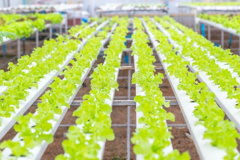 organisk ren mat Åkerbruk lantgård för grön växt för ekgrönsallathydrokultur arkivfoton
