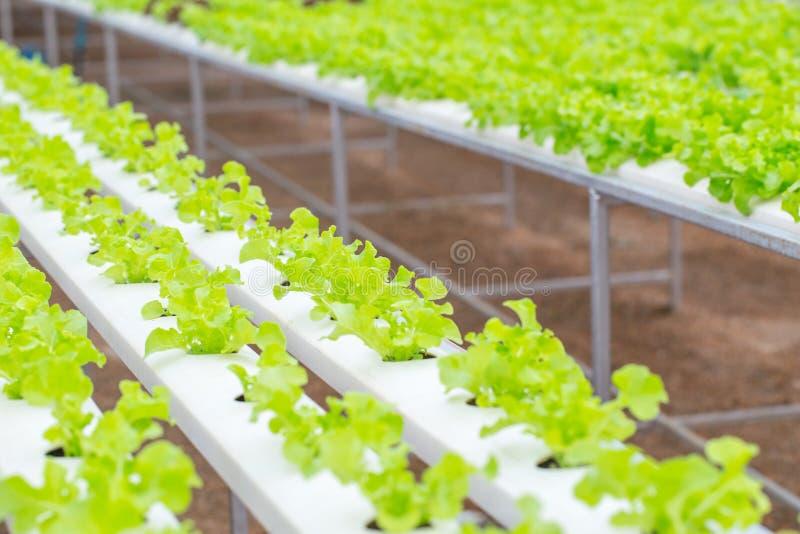 organisk ren mat Åkerbruk lantgård för grön växt för ekgrönsallathydrokultur arkivbilder