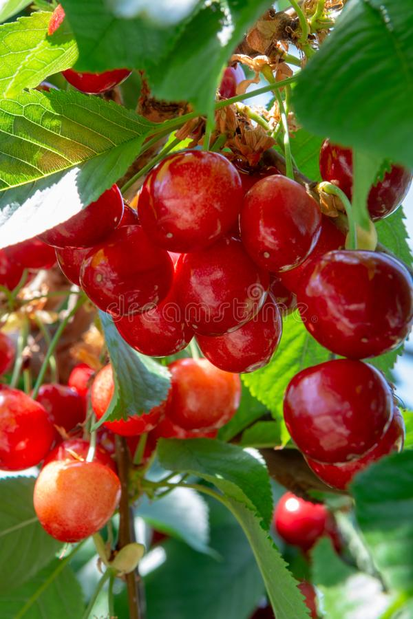Organisk söt körsbär som mognar på slut för körsbärsrött träd upp, solig dag arkivfoto