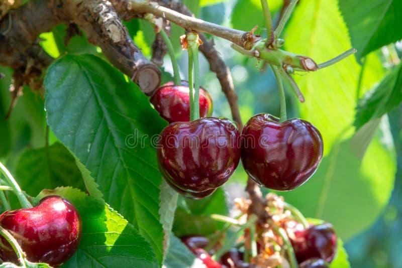 Organisk söt körsbär som mognar på slut för körsbärsrött träd upp, solig dag royaltyfria bilder