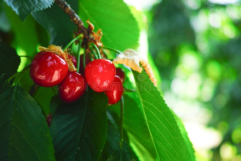 Organisk söt körsbär som mognar på slut för körsbärsrött träd upp, solig dag royaltyfri bild