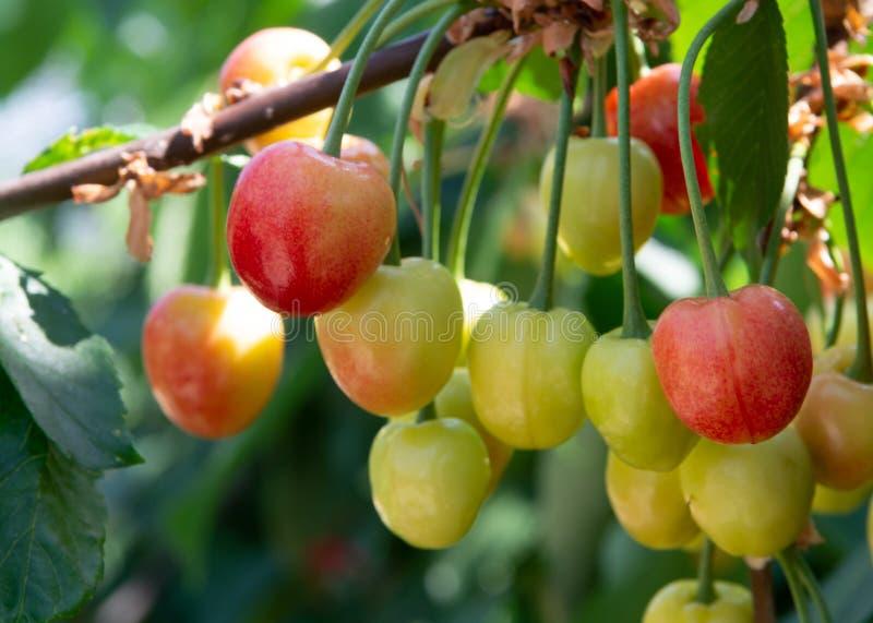 Organisk söt körsbär som mognar på slut för körsbärsrött träd upp, solig dag royaltyfria foton