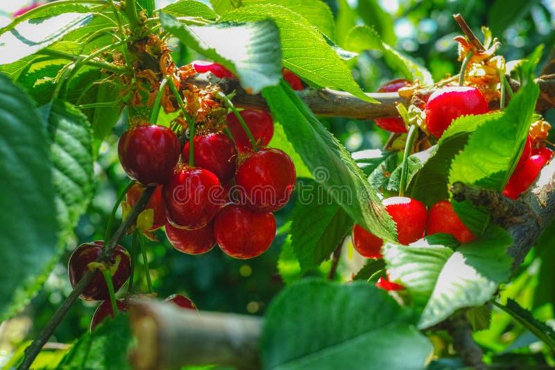 Organisk söt körsbär som mognar på slut för körsbärsrött träd upp, solig dag arkivbild