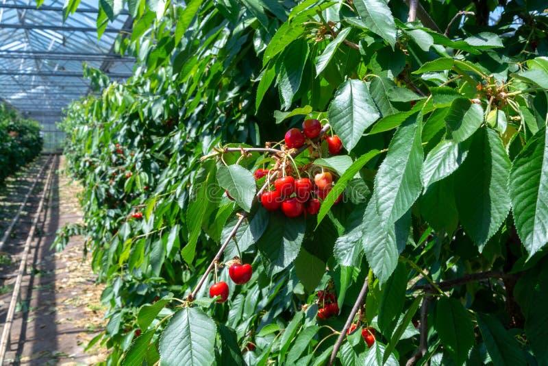 Organisk söt körsbär som mognar på slut för körsbärsrött träd upp, solig dag arkivfoton