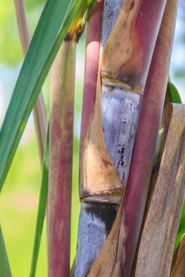 Organisk sockerrörstam, stam av sockerröret på fältet Socker I royaltyfri fotografi