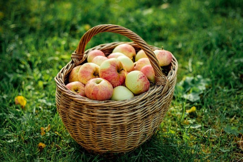 organisk sund fruktträdgård för äpplekorg fotografering för bildbyråer