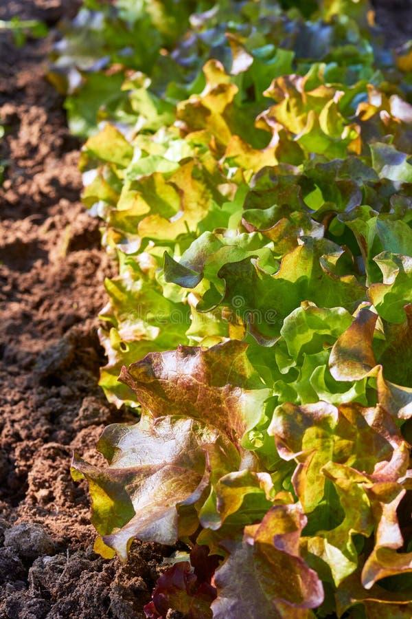 Organisk tillväxt för gröna grönsallatväxter på fältet arkivbilder