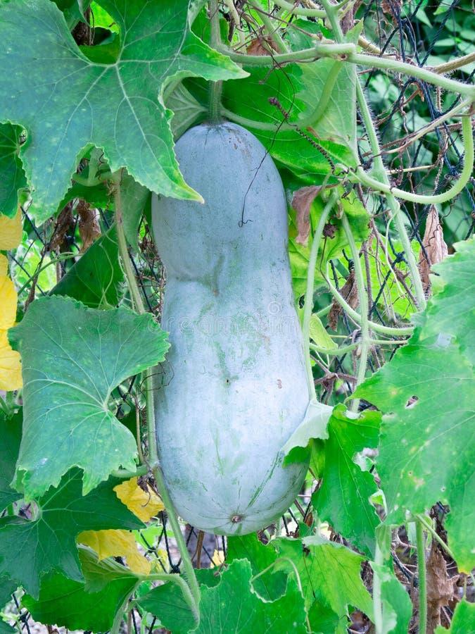 organisk vinter för melon royaltyfri foto