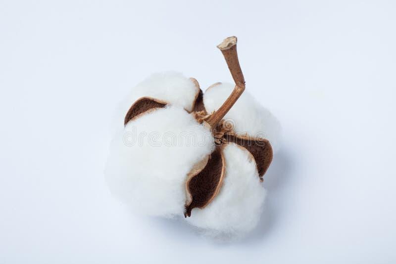 Organisk vit bomull på en vit bakgrund N?rbild arkivbild
