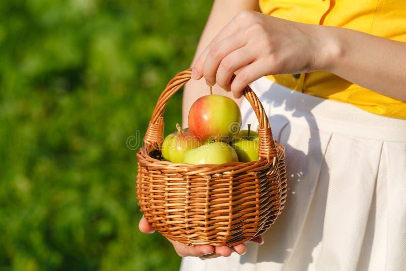 Organiska äpplen i korgen, äpplefruktträdgård, ny självodlat jordbruksprodukter arkivfoton