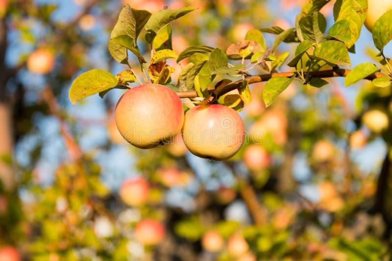 Organiska äppleskördar lantgård eller trädgård Säsong för höstäppleplockning Richskördbegrepp Äpplen gulnar på mogna frukter fotografering för bildbyråer