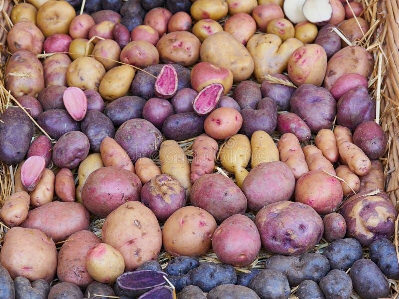 Organiska färgrika nya potatisar som visas i ett land, marknadsför arkivbild
