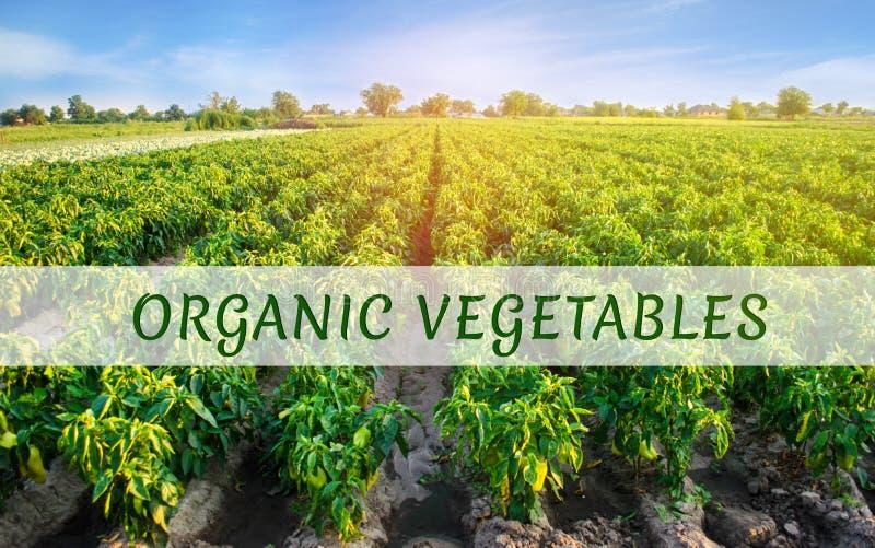 Organiska grönsaker för inskrift på fältet med pepparkolonier Landskap med jordbruks- land ?kerbruk lantbruk fotografering för bildbyråer