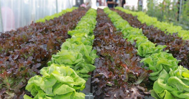 Organiska grönsaker och Hydroponic grönsakkål som in växer royaltyfri fotografi