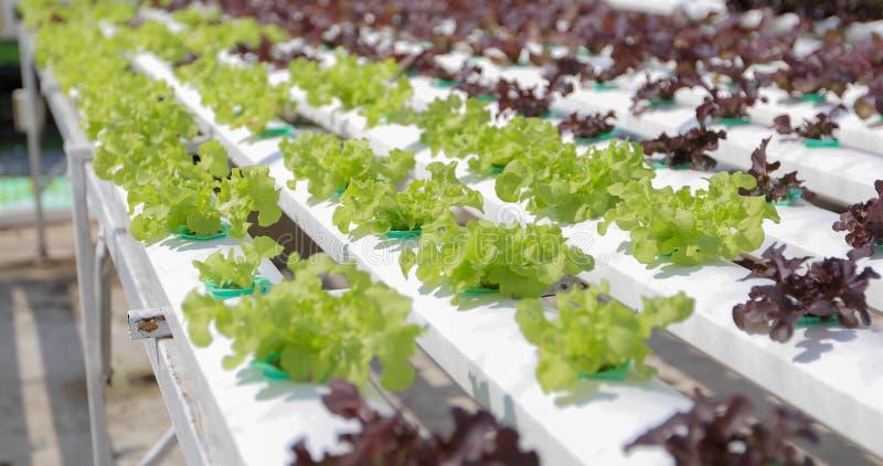 Organiska grönsaker och Hydroponic grönsakkål som in växer royaltyfria bilder