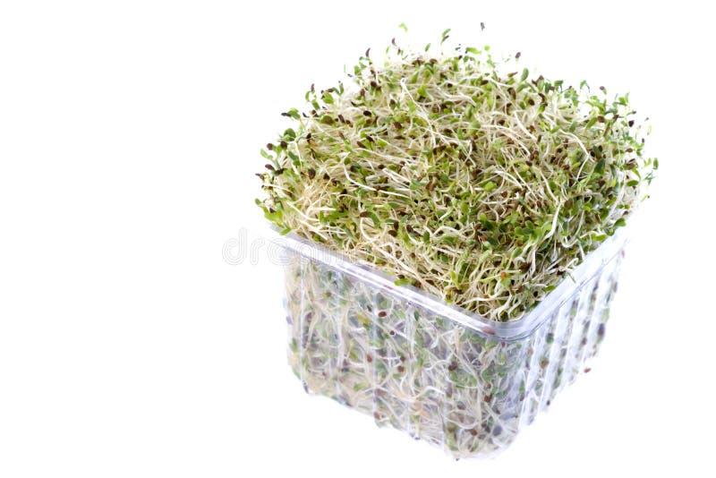 organiska groddar för alfalfa royaltyfria bilder