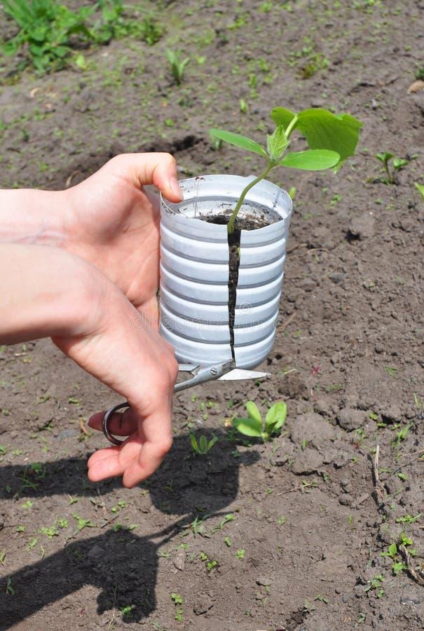 Organiska gurkor i trädgården: Plantera, växa och skörda gurkan royaltyfri foto