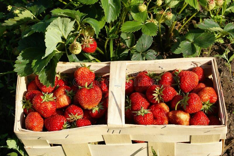 organiska jordgubbar för fält royaltyfri foto