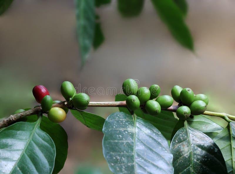 Organiska kaffebönor från Indien arkivbild