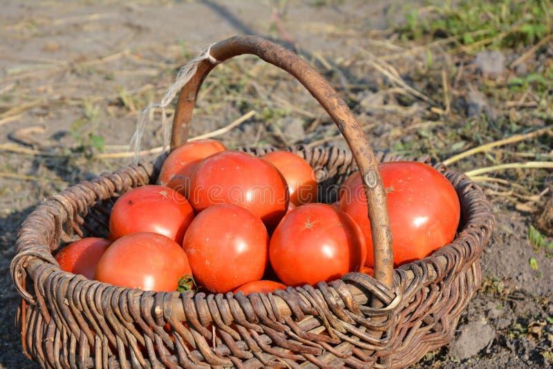 Organiska mogna röda tomater i korgen royaltyfria bilder