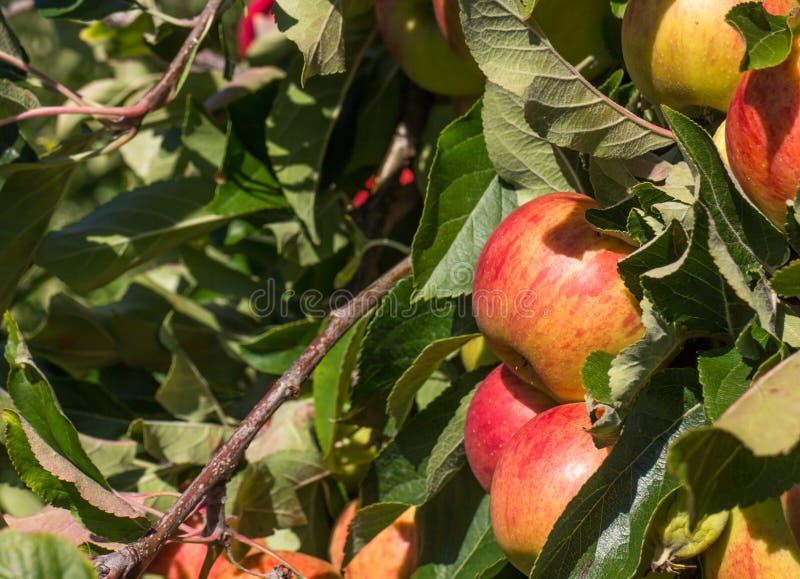 Organiska röda äpplen i träd arkivfoton