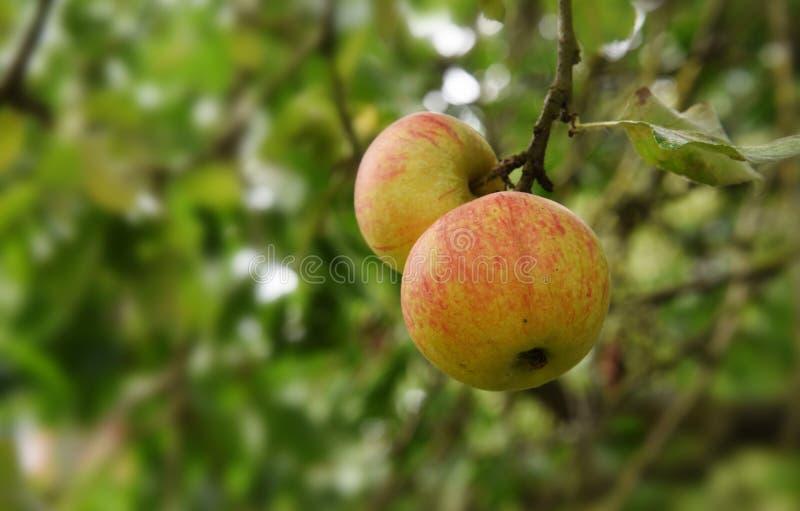 Organiska röda gula äpplen på ett äppleträd som är moget för att skörda royaltyfri fotografi