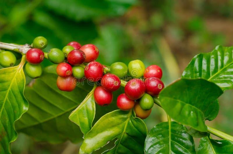 Organiska röda kaffekörsbär, rå kaffeböna på koloni för kaffeträd arkivbild