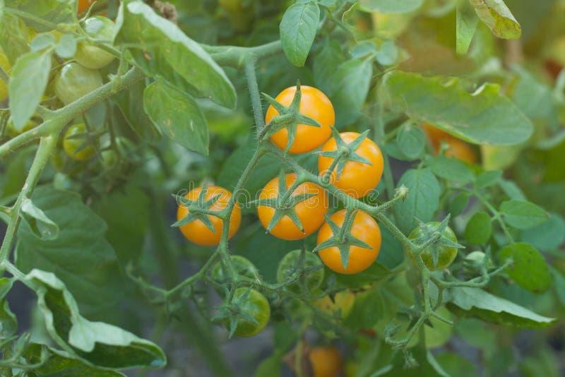 Organiska tomater som utomhus mognar i solljus i gemenskapträdgård En grupp av gula tomater royaltyfria foton