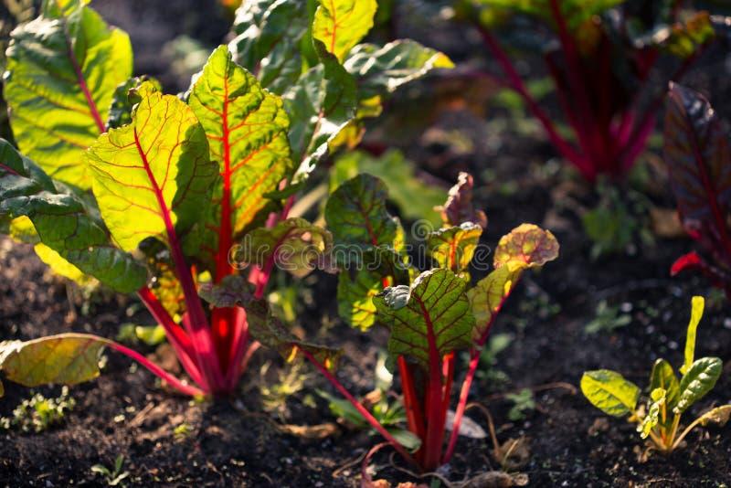 Organiskt arbeta i trädgården, schweizisk chard i en grönsakträdgård royaltyfri fotografi