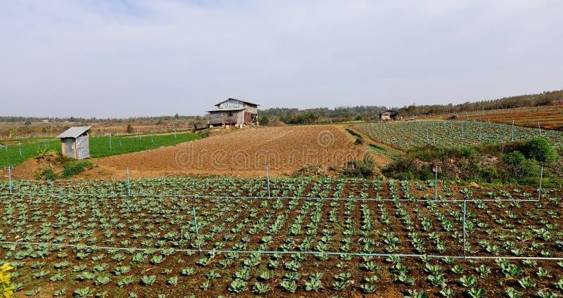 Organiskt fält för grön sallad för grönsak royaltyfri bild