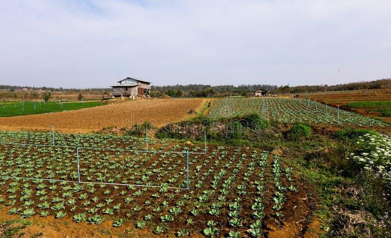 Organiskt fält för grön sallad för grönsak arkivbild