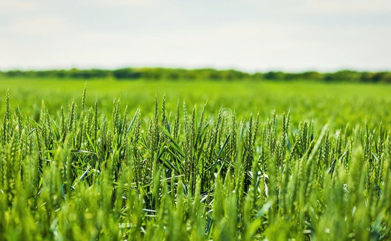 Organiskt grönt vetefält i solig dag som tidigt stadium av lantbruket royaltyfria foton