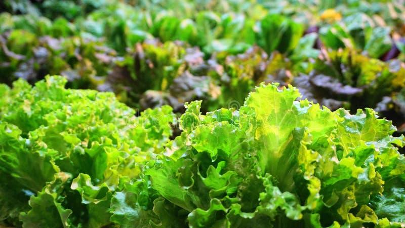 Organiskt nytt grönt grönsallatslut upp royaltyfria bilder