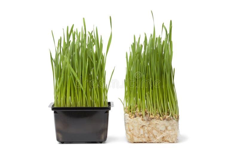 organiskt plastic vete för behållaregräs arkivfoton