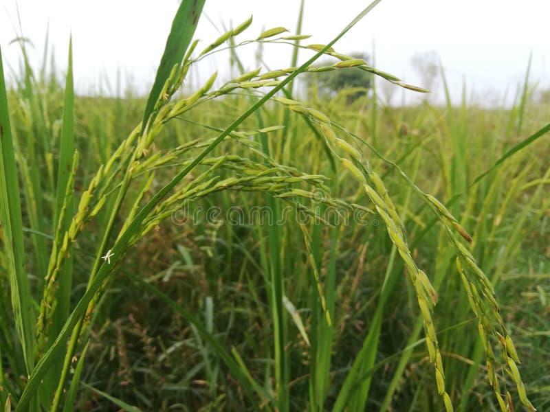 Organiskt ris Paddy Stalk i Fields arkivbild