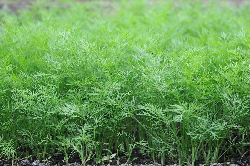 Organiskt växt dill i smutsa. royaltyfri foto