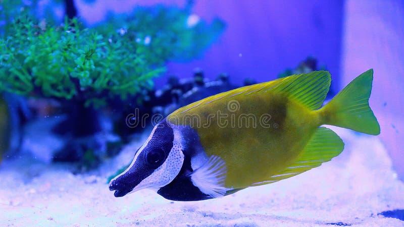 Organismo marino [flysea-04] immagine stock