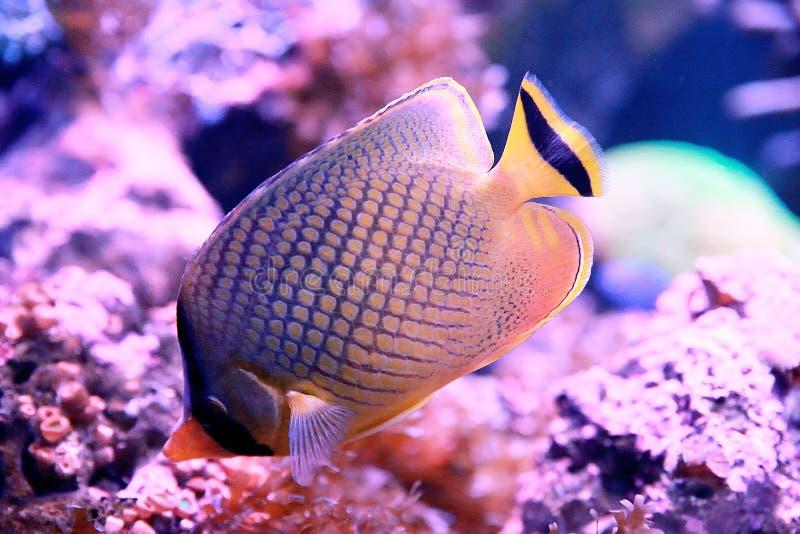 Organismo marino [flysea-11] immagini stock