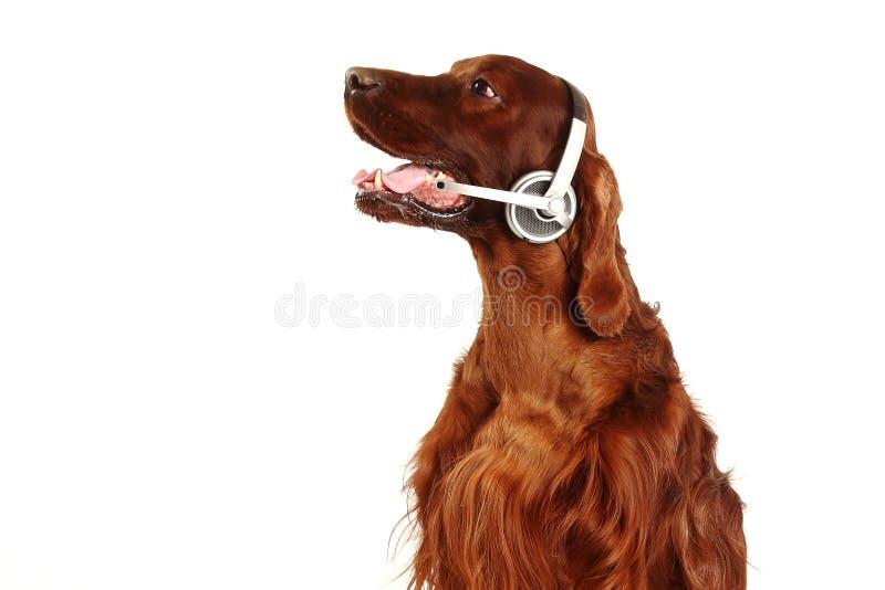 Perro irlandés del organismo rojo con los auriculares imagen de archivo libre de regalías