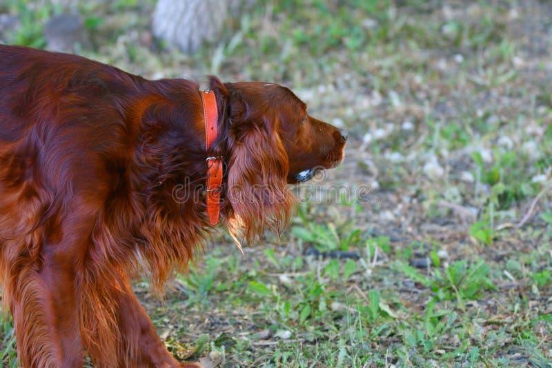Organismo rojo irland?s de la raza del perro fotografía de archivo libre de regalías