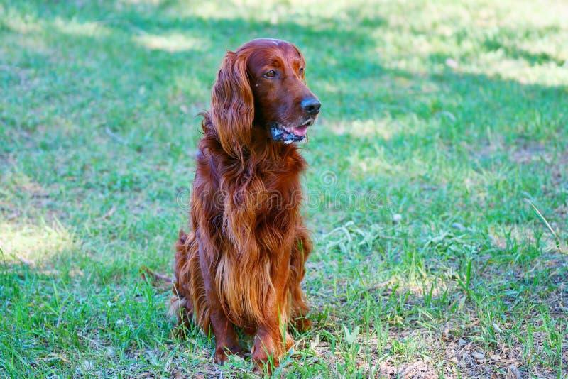 Organismo rojo irland?s de la raza del perro foto de archivo libre de regalías
