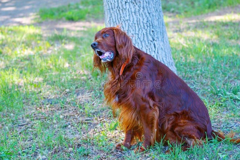 Organismo rojo irland?s de la raza del perro fotografía de archivo